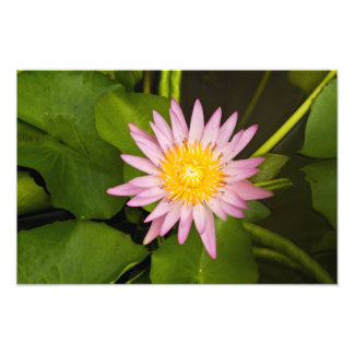 Pink Water Lily Photo Print