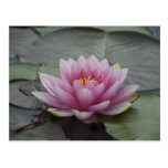 Pink Water Lily Postcard