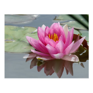 Pink Waterlily Postcard