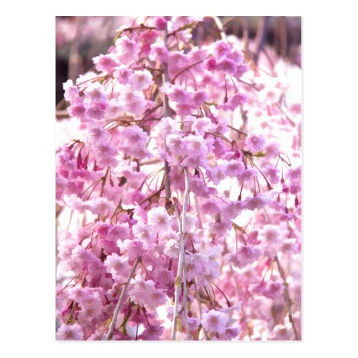 pink weeping willow tree postcard