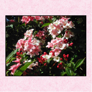 Pink Weigela Flowers. On pink. Acrylic Cut Out