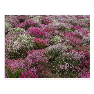 Pink white and Purple bushes blossom Post Cards