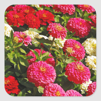 Pink, white and red zinnia flowers square sticker