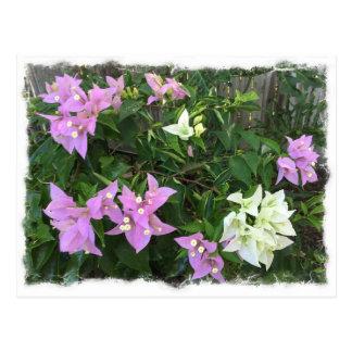 Pink & white bougainvillea postcard