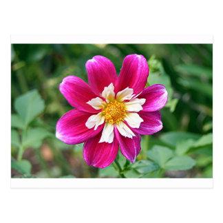 Pink & white Dahlia flower in bloom Postcard