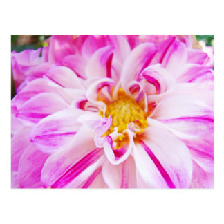 Pink White Dahlia Flower postcards Floral Garden