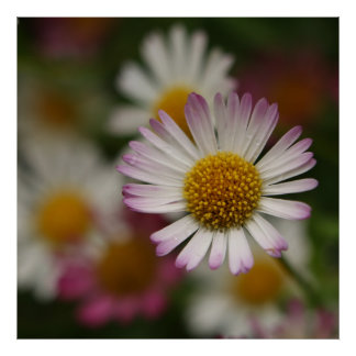 Pink White Flower Poster