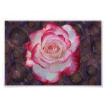 Pink & White Hybrid Tea Rose Photo Print
