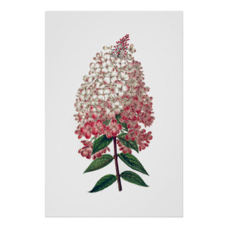 Pink white hydrangea poster