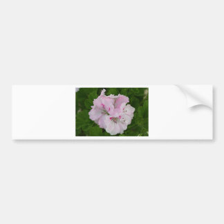 Pink & white Pelargonium flower in bloom Bumper Sticker