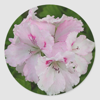 Pink & white Pelargonium flower in bloom Classic Round Sticker