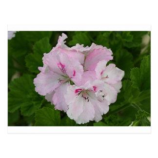 Pink & white Pelargonium flower in bloom Postcard