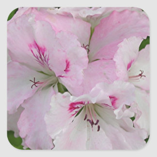 Pink & white Pelargonium flower in bloom Square Sticker