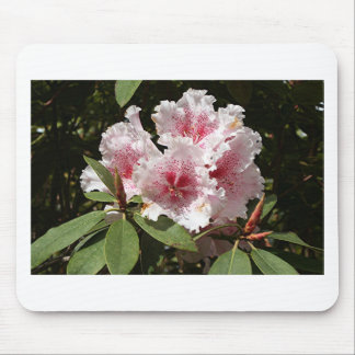 Pink & white Rhododendron flowers in bloom Mouse Pad