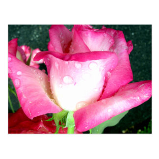 Pink & White Rose with Dew Drops Postcard