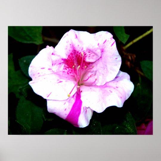 Pink/White Splash Azalea Flower Poster