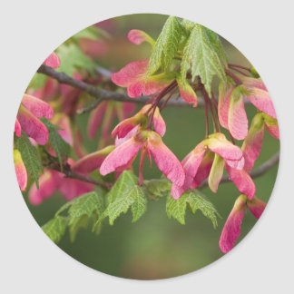 Pink Winged Sycamore Seeds - Acer pseudoplatanus Classic Round Sticker