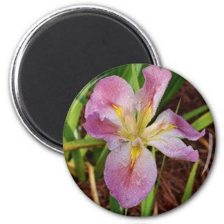 Pink-Yellow Beardless Iris Magnet