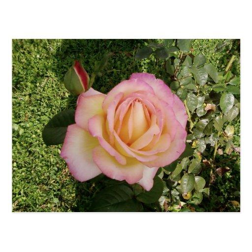 Pink Yellow Rose Macro Postcard