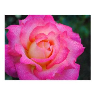 Pink & Yellow Rose Postcard