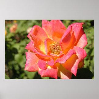 Pink/Yellow Rose Sacramento PA070516 Poster