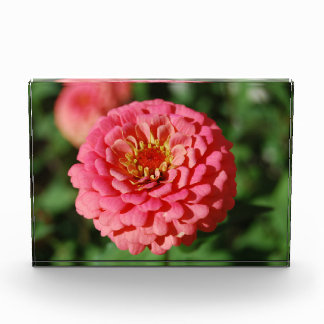 Pink Zinnia decorative acrylic block