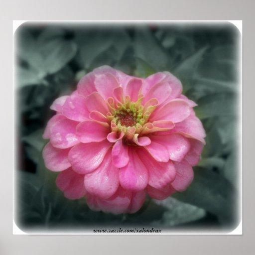 Pink Zinnia  flower, Print