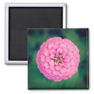 Pink Zinnia Flower Square Magnet