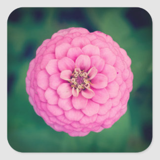 Pink Zinnia Flower Square Stickers