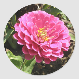 Pink Zinnia Stickers