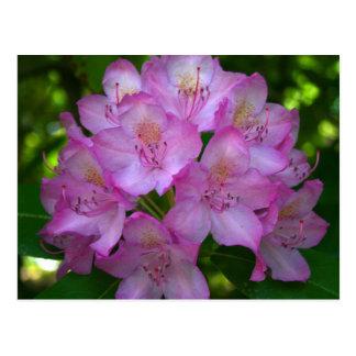 Pinkish purple Rhododendron Catawbiense Postcard