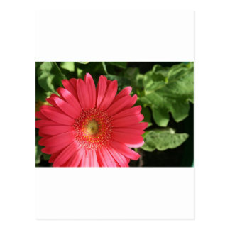 pinky Red Flower Postcard