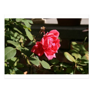 Pinky Red rose Postcard