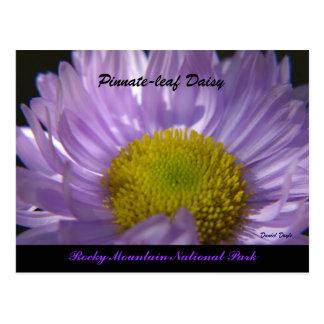Pinnate-Leaf Daisy Postcard