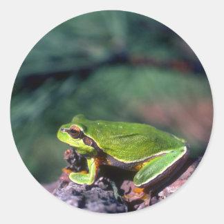 Pino Barrens Treefrog Pegatinas