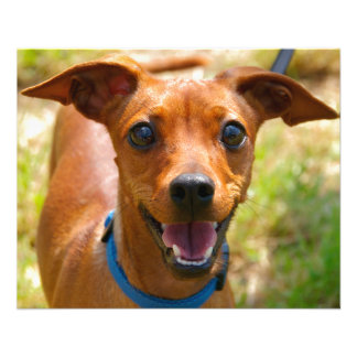 """Pinscher Smiling Blue Collar Dog 4.5"""" X 5.6"""" Flyer"""