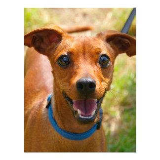 """Pinscher Smiling Blue Collar Dog 8.5"""" X 11"""" Flyer"""