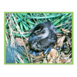 Pintail Chick Post Card