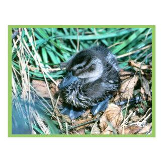 Pintail Chick Postcard