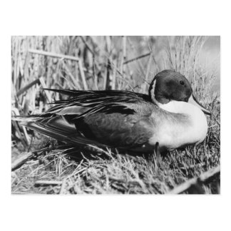 Pintail Drake Black and White Postcard