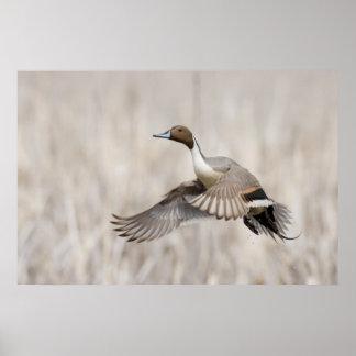 Pintail Drake Taking Flight Poster