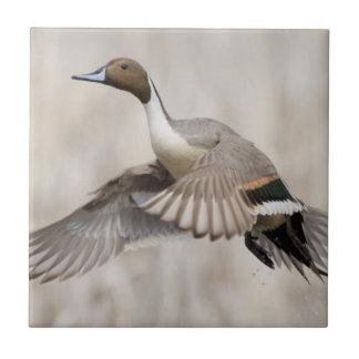 Pintail Drake Taking Flight Tile