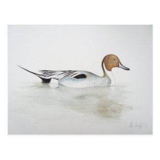 Pintail Duck 2011 Postcard