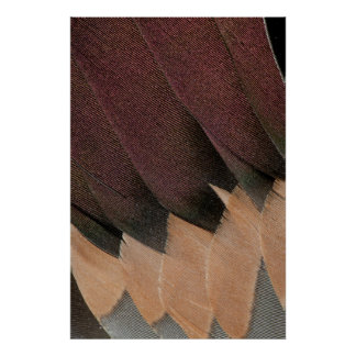 Pintail Duck Feather Design Poster