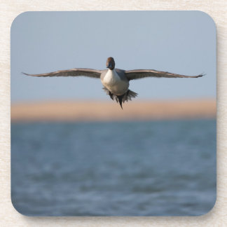 Pintail Duck in Flight Coasters