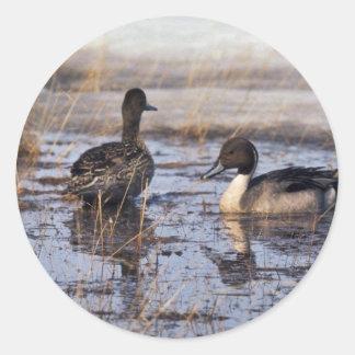 Pintail Duck Pair Round Stickers