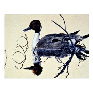 Pintail duck postcard