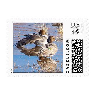 Pintail Ducks Postage