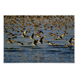 Pintails Posters
