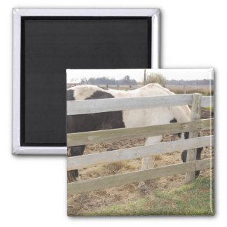 Pinte el caballo/el Pinto Imanes Para Frigoríficos